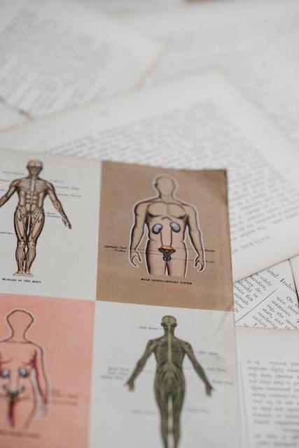 解剖学イラスト 泌尿器