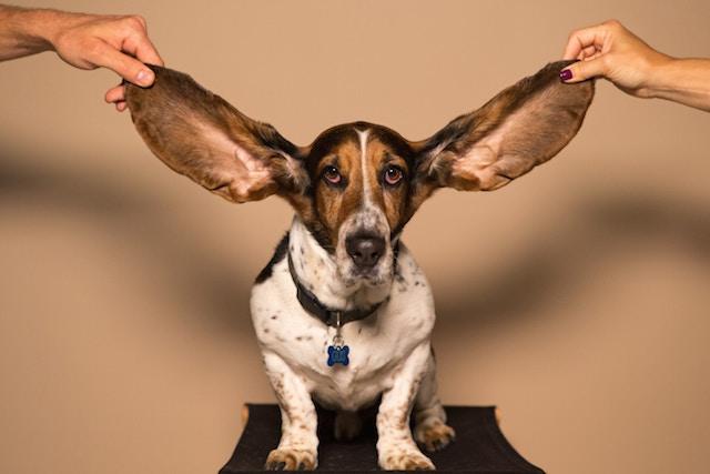 20181109ブログ写真・バセットハウンド子犬