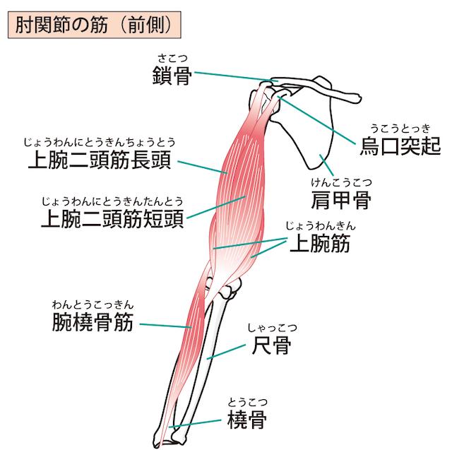 肩関節の図解・イラスト
