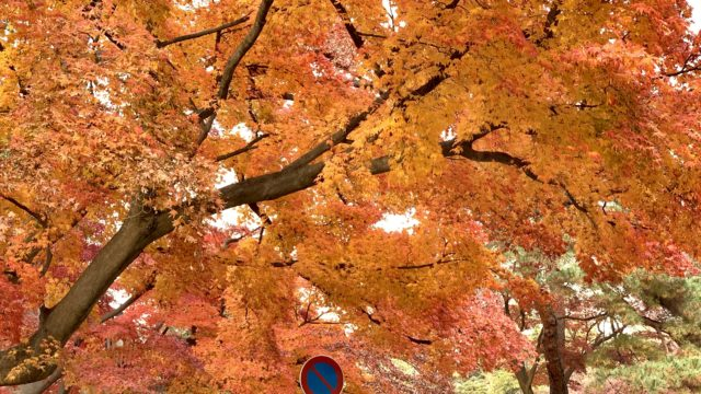 多磨霊園正門の紅葉